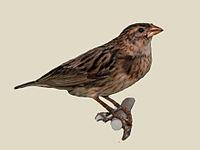 Long-tailed_Widowbird_female_specimen_RWD